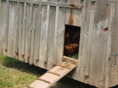 Chickens too nervous to leave their house