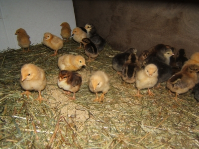Babychicks!
