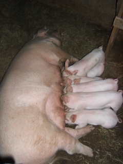 Piglets are one month old and growing!