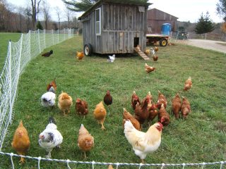 Chickens mingling
