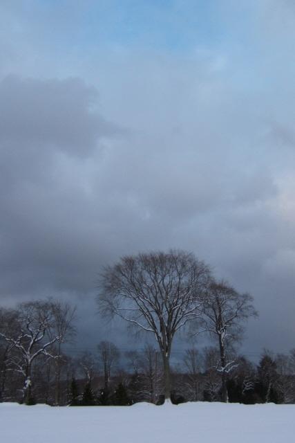 Snowy Elm