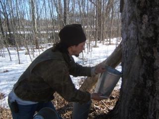 Jesse hanging sap buckets